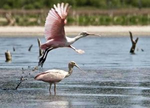 Mar Chiquito - Flamingos